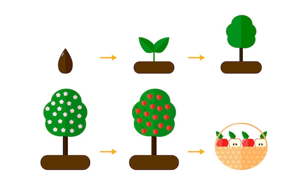 Growth stages of apple trees. red apples.