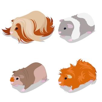 Guinea pig breeds set