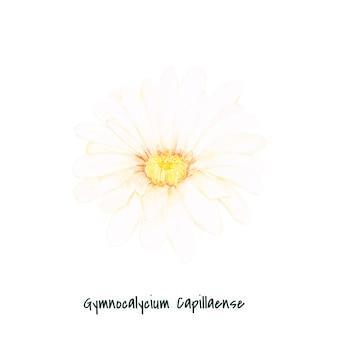 手描きのgymnocalycium capillense cactus