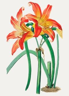 Habranthus orange flower