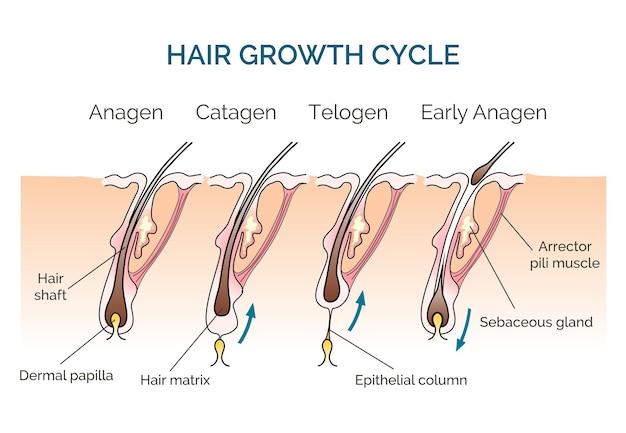 髪の成長サイクル。髪の周期、科学段階の髪、人間の髪の成長。