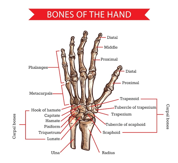 Эскиз костей рук и запястий анатомии человека и медицины. нарисованная от руки рука скелета с лучевой, локтевой, фалангами пальцев и пястными костями ладони, трапециевидной, ладьевидной и запястной костями
