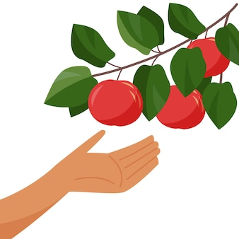 Hand and apple tree branch picking apples harvesting branch with ripe apple