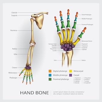 Иллюстрация костей рук