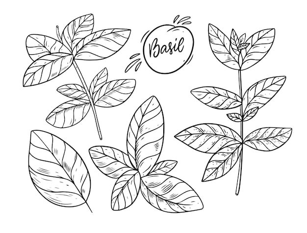 Рука рисовать эскиз василия. стиль гравировки. изолированные на белом фоне.