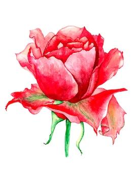 手は白地に美しい赤いバラの水彩画を描く