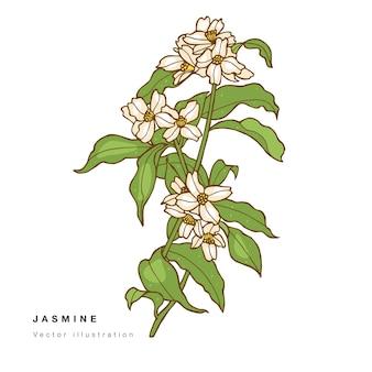 Рука рисовать иллюстрации цветы жасмина.