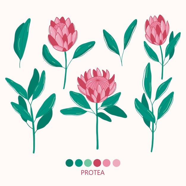 손으로 현대 protea 그림을 그립니다.