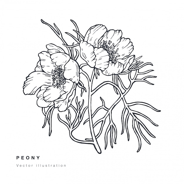 Hand draw  narrow leaved peony flowers illustration. floral wreath. botanical floral card on white background.