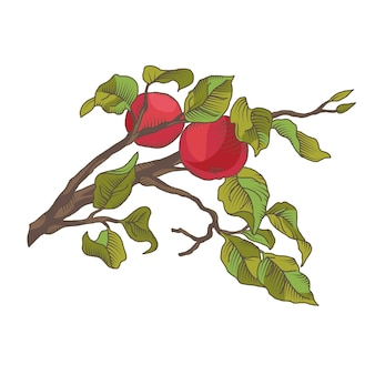 Рука рисования яблочная ветка с фруктами. иллюстрация, изолированных на белом