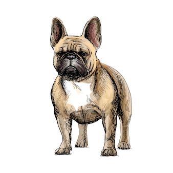 Hand drawing of a beautiful french bulldog dog on white background. vector illustration.