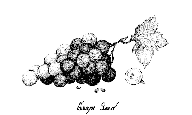 Hand drawing of fresh juicy red grapes with seed