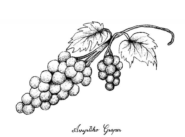 Рука рисунок свежего сочного винограда ассыртико