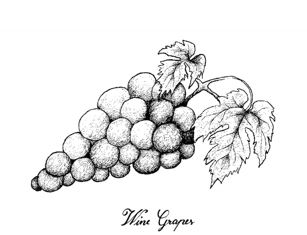 Рука рисунок свежего сочного красного винограда