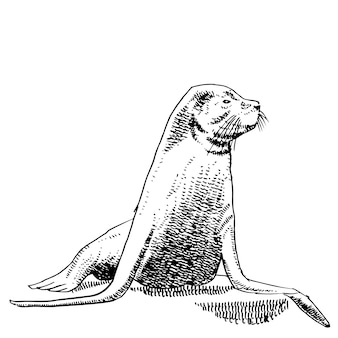 Hand drawing of sea lions.