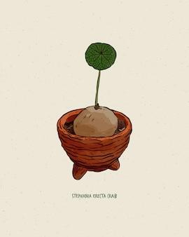 手描き。ステファニアエレクタクレイブの球根。美しい緑の葉の画像。あなたの庭で飾るための小さな植物。