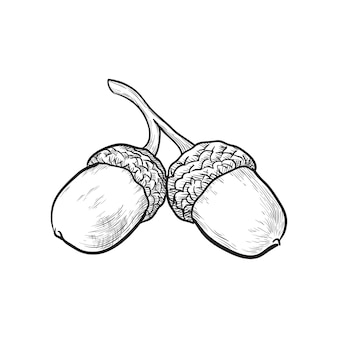 Hand drawn acorns vector illustration