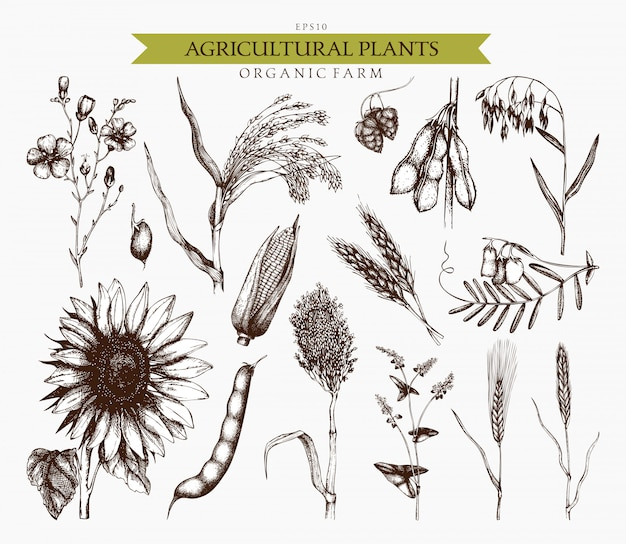 Hand drawn agricultural plants sketches. hand sketched cereals and legume plants illustrations collection