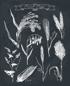 Hand drawn agricultural plants sketches.  hand sketched cereals and legumes plants collection on chalkboard