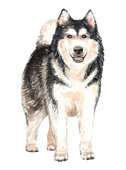 Hand drawn alaskan malamute watercolor dog.