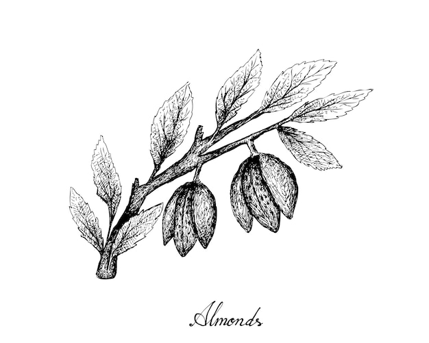 Hand drawn of almonds on a branch