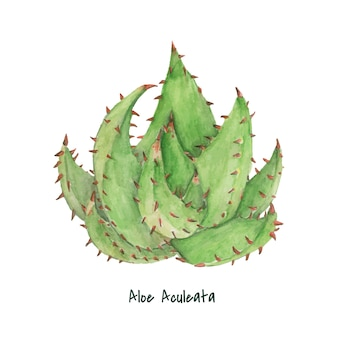 Hand drawn Aloe aculeata plant
