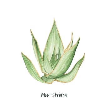 Hand drawn aloe striata plant