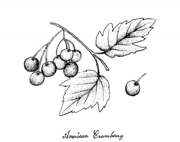 Hand drawn of american cranberries on white background