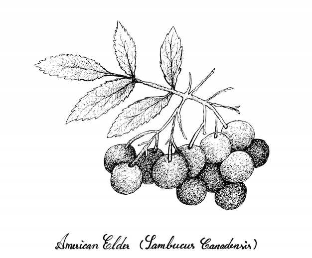 Hand drawn of american elder fruits