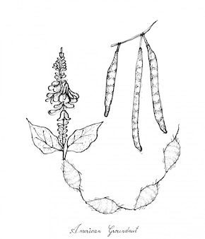 Hand drawn of american groundnut plant