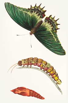 Hand drawn of androgeus swallowtail