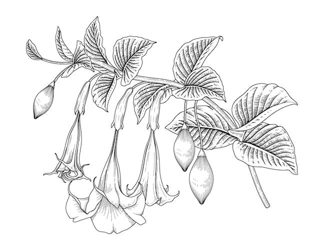 Рука нарисованные ангела труба цветок (brugmansia), изолированные на белом фоне.
