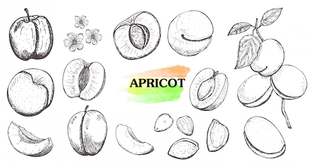 Hand drawn apricot set isolated on white background.