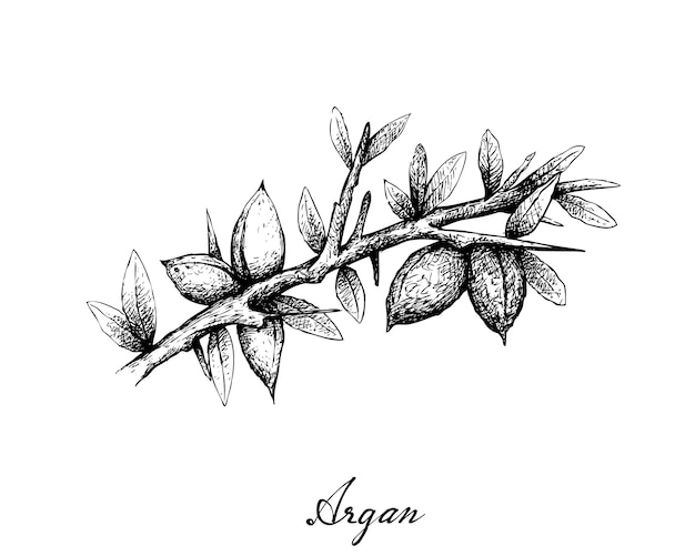 Hand drawn of argan seeds on a branch