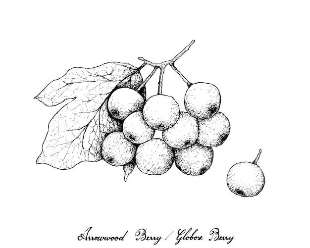 Hand drawn of arrowwood berries or globose berries