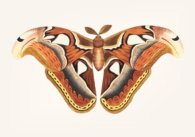 Hand drawn of atlas moth