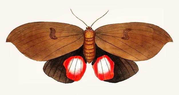 Hand drawn of augusta moth