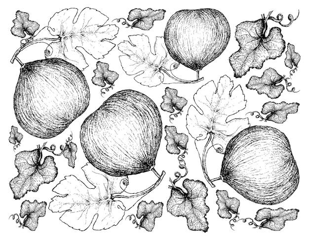 Hand drawn background of casaba melon fruits