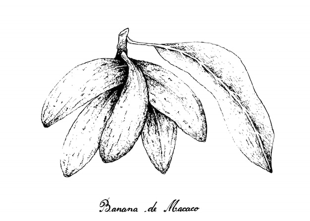 Hand drawn of banana de macaco fruits on white background