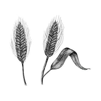 Hand-drawn barley cereal grain