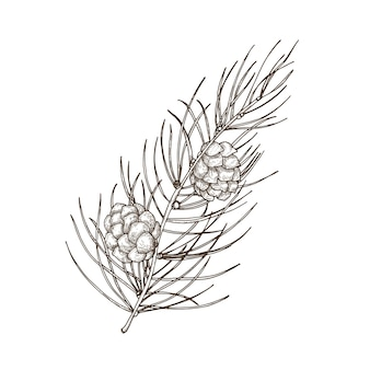 針のような葉と円錐形の松の枝の手描きの美しい植物画。