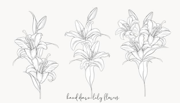 Hand drawn beautiful  lily bouquets Premium Vector