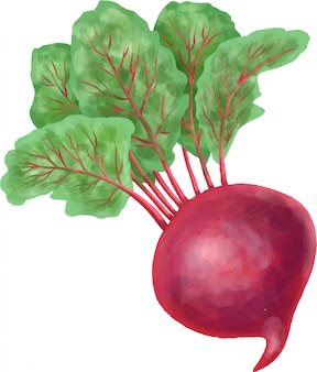Hand drawn beetroot isolated