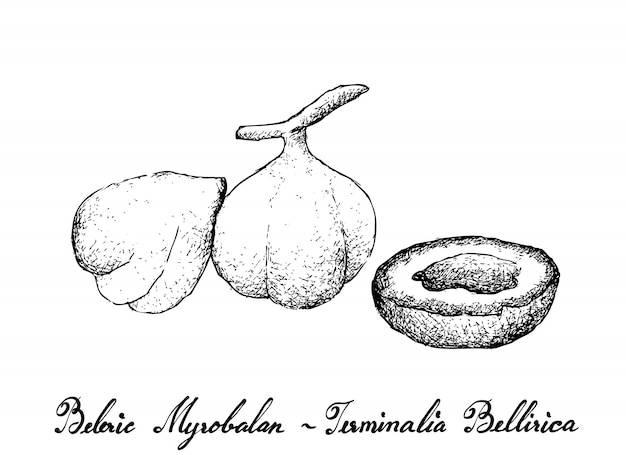 Hand drawn of beleric myrobalan fruits