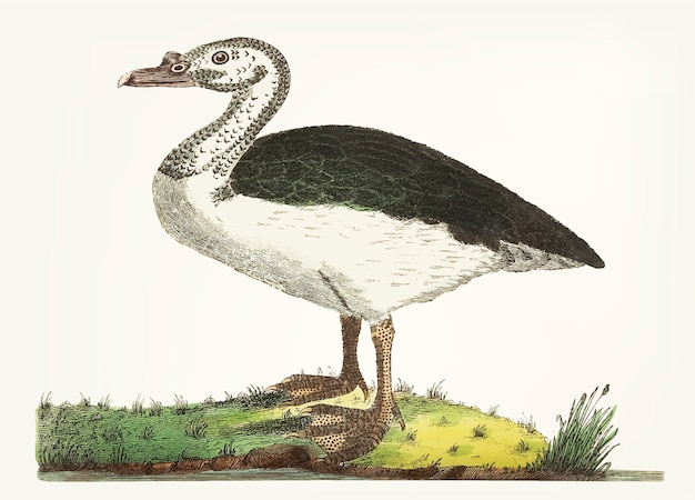 Hand drawn of black-backed goose