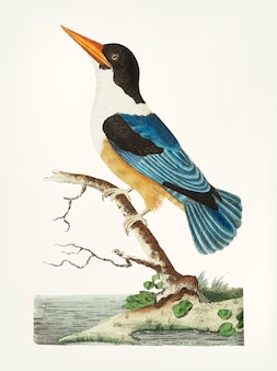 Hand drawn of black-capped kingfisher