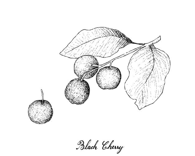 Hand drawn of black cherries
