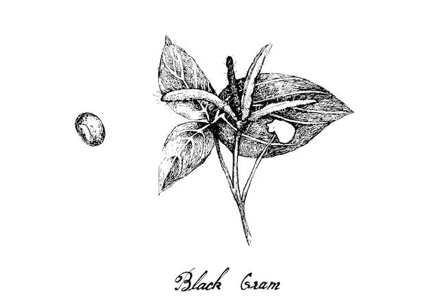 Hand drawn of black gram