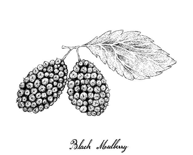 Hand drawn of black mulberries