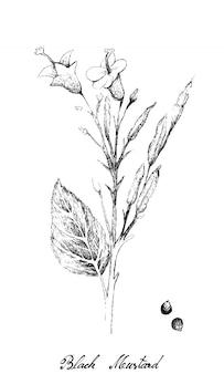 Hand drawn of black mustard plant on white